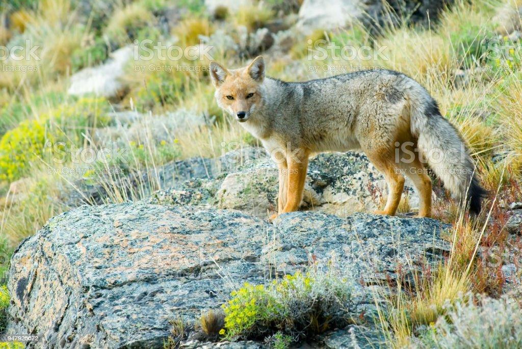 Patagonian Fox (Dusicyon culpaeus) stock photo