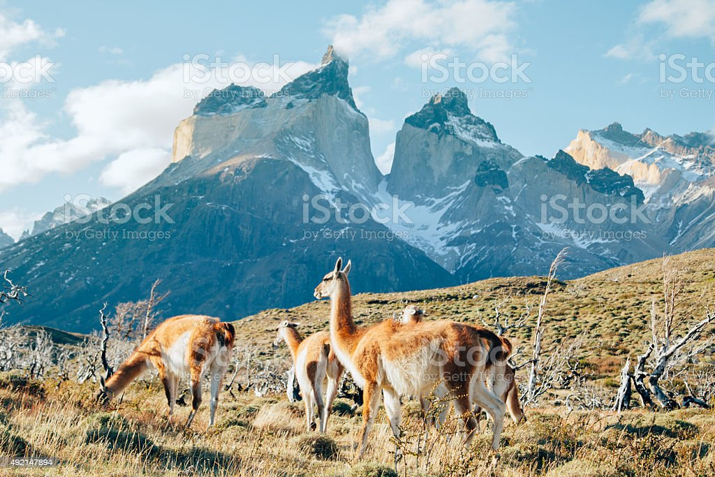Patagonian Guanaco stock photo