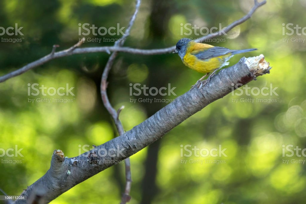 Patagonian sierra finch perched broken beech tree branch Ushuaia Argentina stock photo