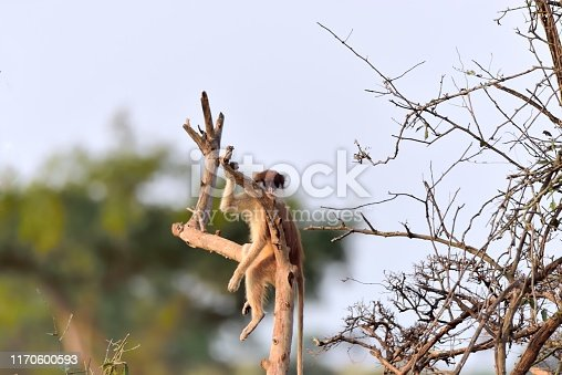 A patas, wadi , or hussar monkey take your pick, sitting on a bare tree branch gazing back at the troop of tourist in the Murchison Falls National Park of Uganda