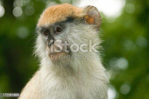 Patas monkey portrait (erythrocebus patas)