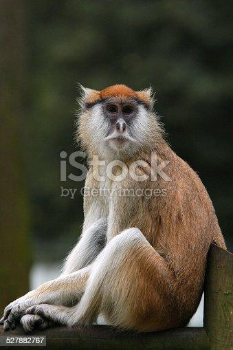 Patas monkey (Erythrocebus patas), also known as the Hussar monkey.