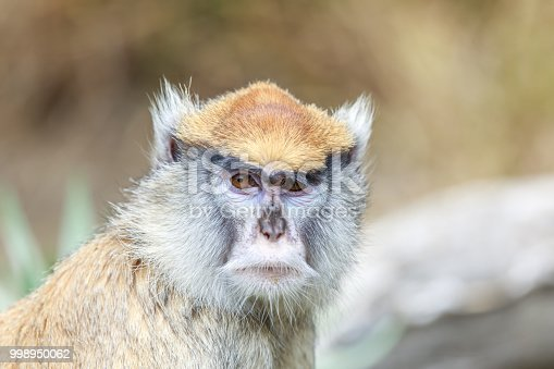 The patas monkey, also known as the wadi monkey or hussar monkey, is a ground-dwelling monkey distributed over semi-arid areas of West Africa, and into East Africa.