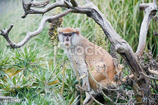 A Patas monkey sitting under a tree looking at the camera. Nikon D300; RAW