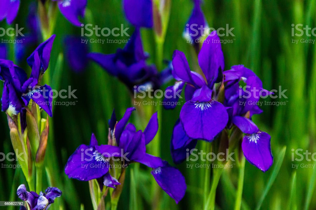 patch of blue iris in the early morning wind 免版稅 stock photo