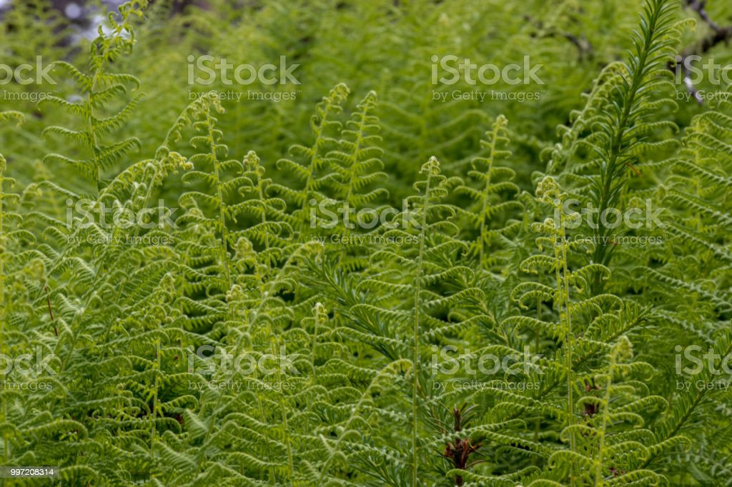 A patch of ferns. stock photo