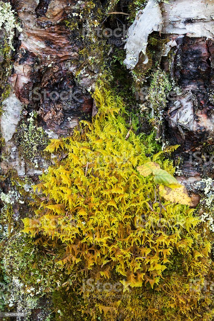 Patch of yellow feather moss on birch tree, northern Maine. stock photo