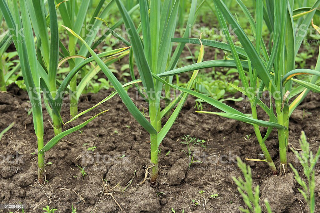 Patch with garlic. Growing garlic in garden stock photo