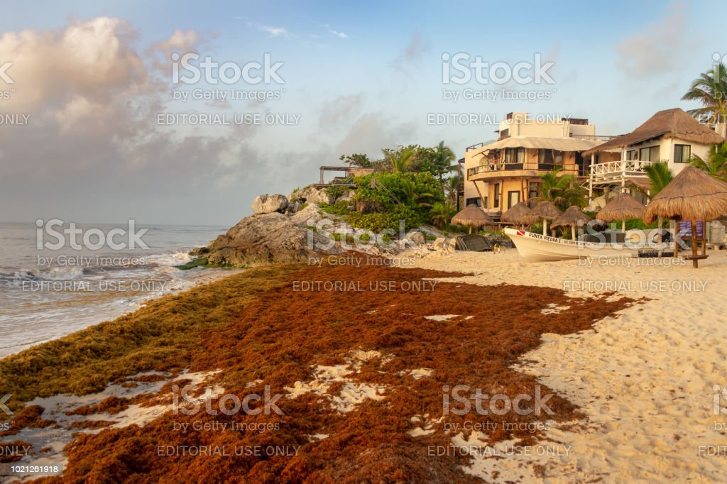 Patches Of Sargassum Seaweed On A Tulum Beach In Mexico Stock Photo