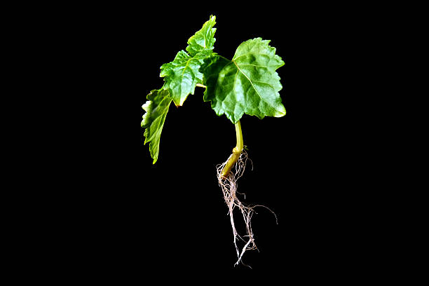 Patchouli plant with roots on black stock photo