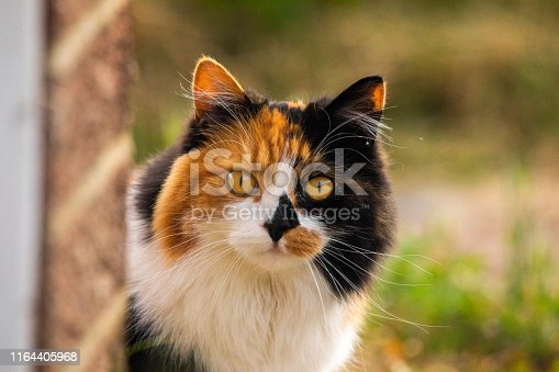 Patchy domestic Cat looking at me