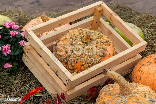 Patchy zombie pumpkin in a wooden crate at a harvest festival. Ripe unusual farm pumpkin, original appearance, pimples and growths on the pumpkin