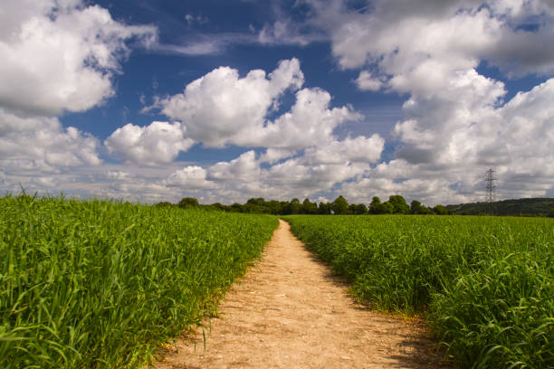 Path across a field of crops on a sunny day stock photo