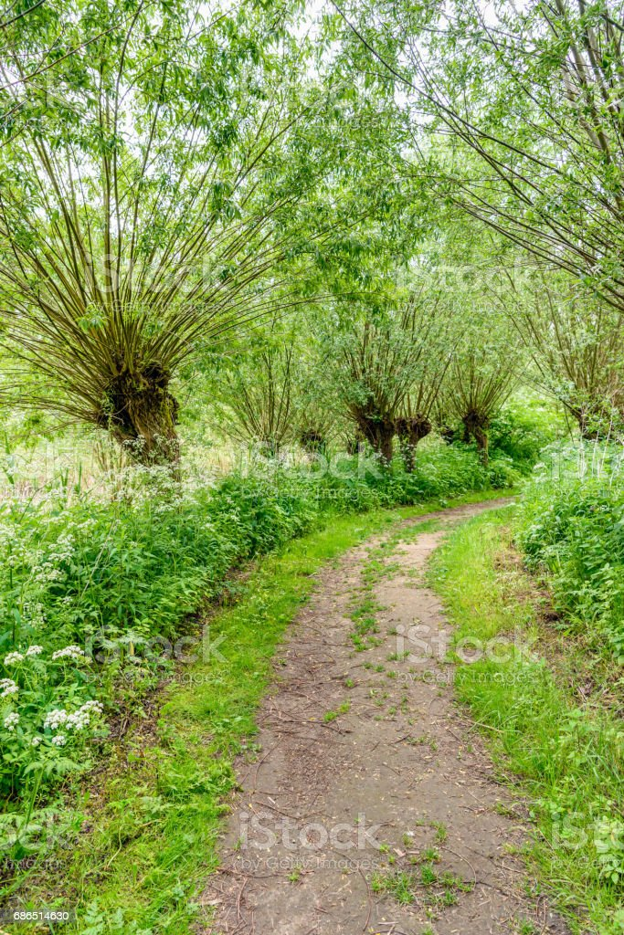 Path between pollard willow trees in springtime royalty free stockfoto