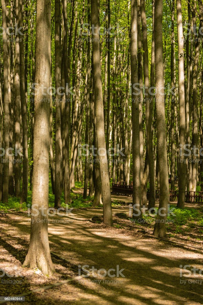 Path between trunks of trees in the wood - Royalty-free Branch - Plant Part Stock Photo