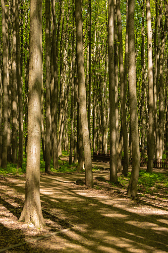 Path Between Trunks Of Trees In The Wood Stock Photo - Download Image Now