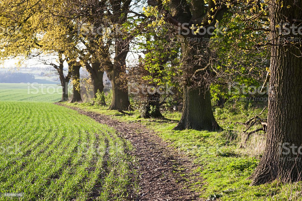path by growing crops and chestnut trees in English spring stock photo