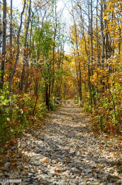 Photo of A path in a birch tree forest covered in colorful leaves