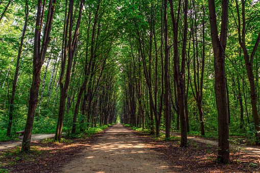 Path in a dense forest