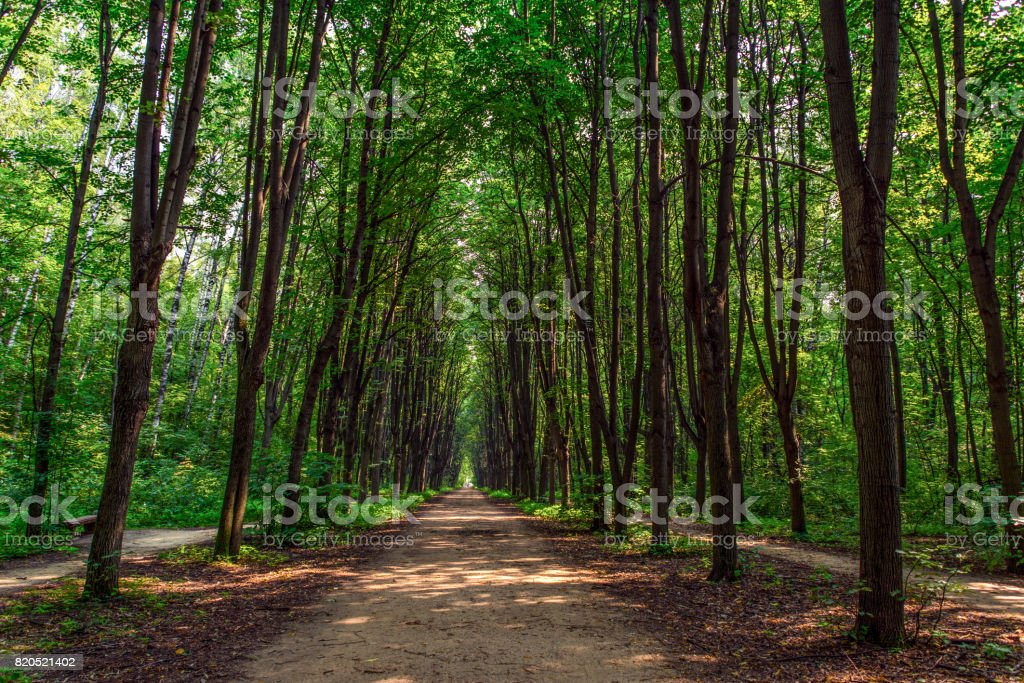 Path in a dense forest stock photo