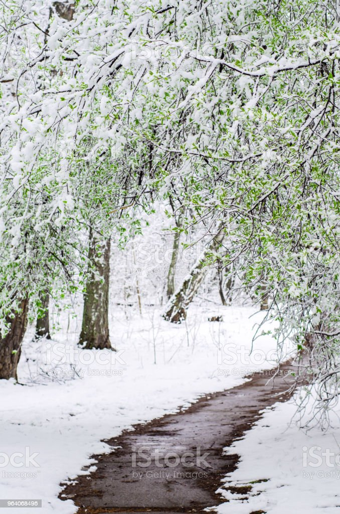 path in a snow-covered spring forest. anomalous spring. snow in May. a large branch of bird cherry in the snow hung over the path - Royalty-free Birch Tree Stock Photo