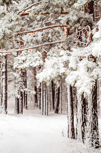 Path In A Snowcovered Spring Forest Anomalous Spring Snow In May Stock Photo - Download Image Now