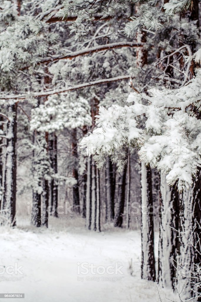 path in a snow-covered spring forest. anomalous spring. snow in May - Royalty-free Branch - Plant Part Stock Photo