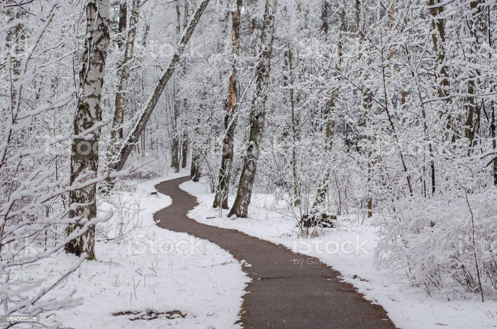 path in a snow-covered spring forest. anomalous spring. snow in May - Royalty-free Birch Tree Stock Photo