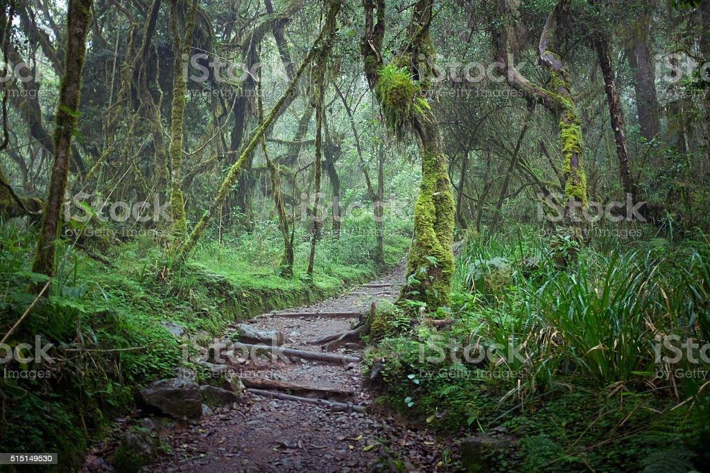 Path in jungle rainforest, Machame Route, Kilimanjaro stock photo