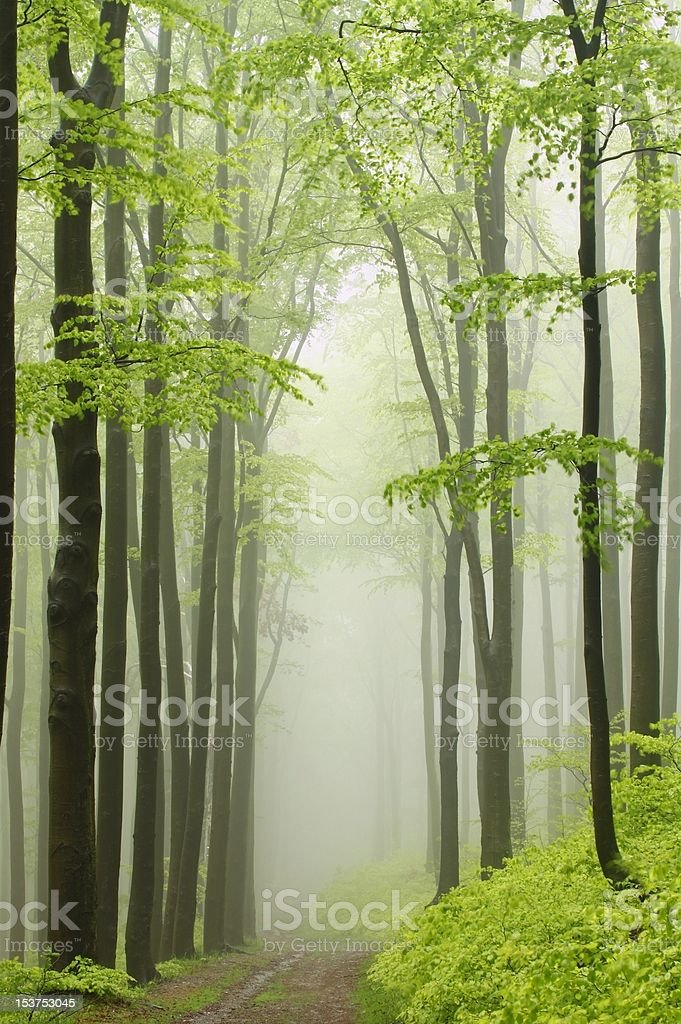 Path in spring beech forest royalty-free stock photo