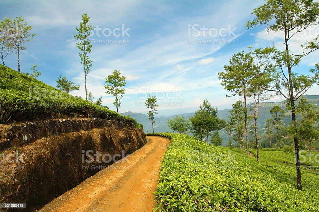 path in tea plantation stock photo