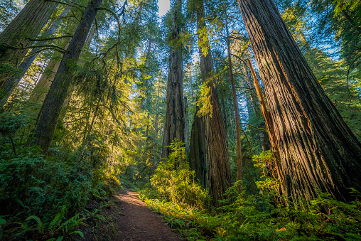 A path in the fairy green forest. The sun's rays fall through the branches. The Boy Scout Tree Trail in Redwood national and state parks. California, USA