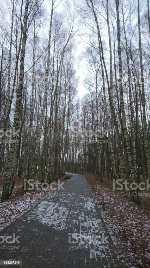 Path in the park with many birches stock photo