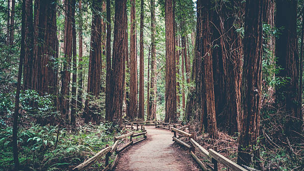 Path in the Redwoods Exploring the Redwoods near San Francisco redwood tree stock pictures, royalty-free photos & images