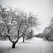 Path near the rows of snow covered apple trees in winter orchard