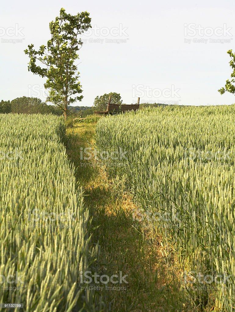 Path in Wheat field stock photo