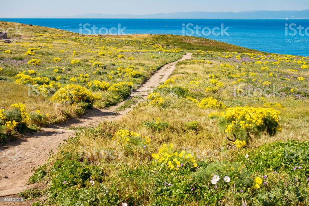 Path leading between coreopsis flowers in Channel Islands National Park California stock photo
