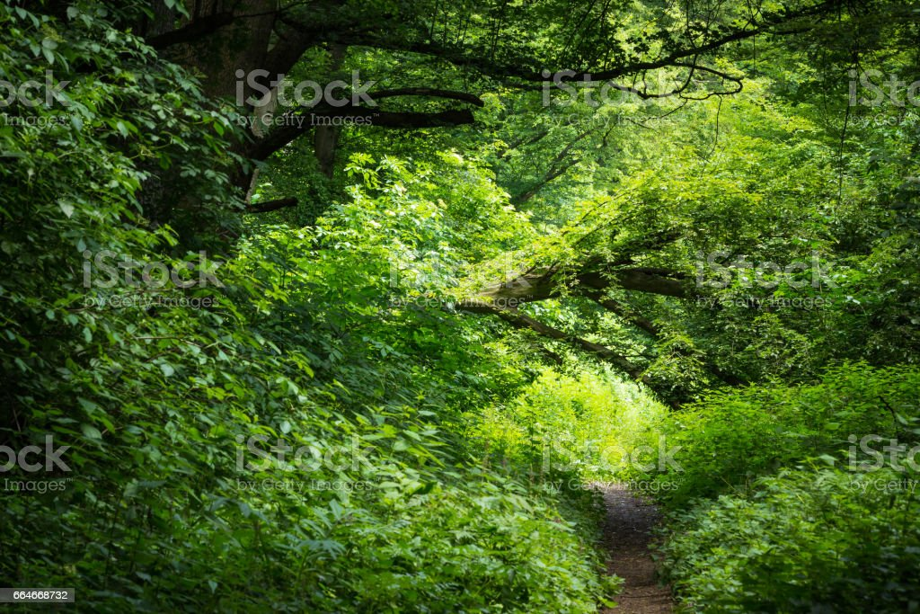 Path leading into dense woods stock photo