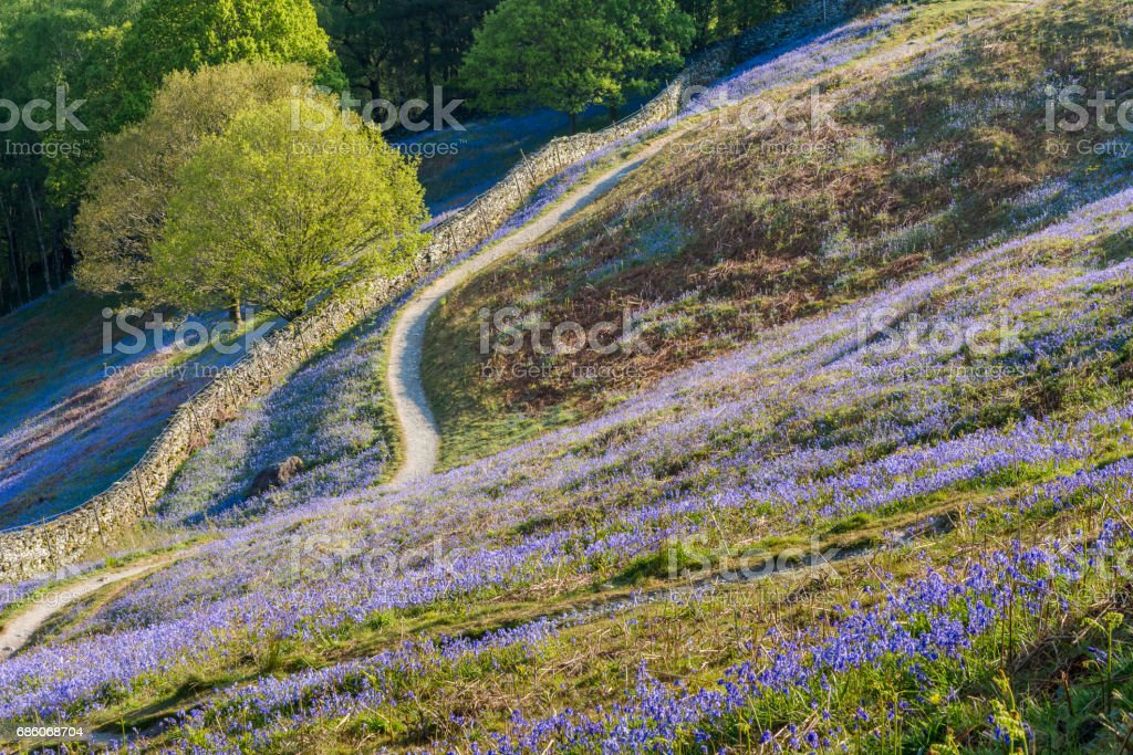 Path Leading Through Bluebell Carpets. stock photo