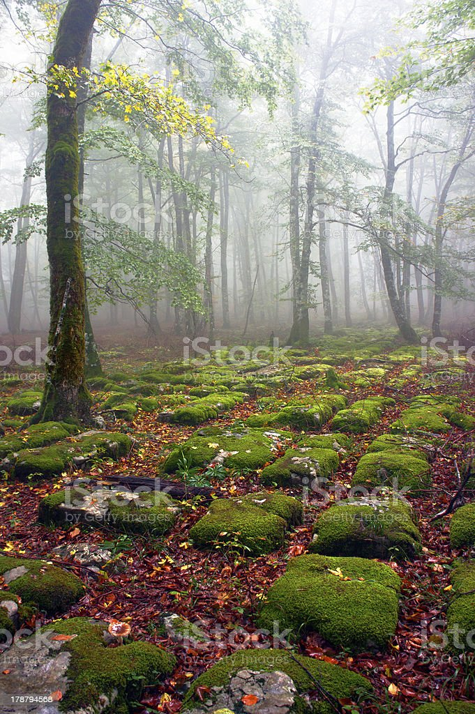 Path of sedimentary rocks in foggy beech forest royalty-free stock photo