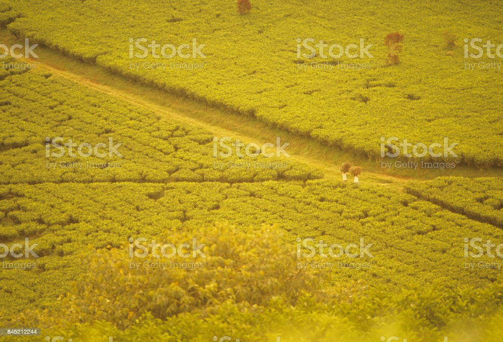 Path Of Tea Stock Photo - Download Image Now