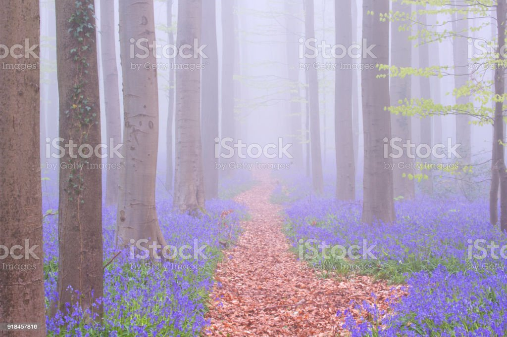 Path through a foggy blooming bluebell forest in Belgium stock photo