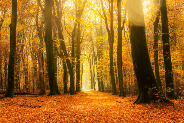 Path through a gold colored forest during a beautiful sunny fall day stock photo