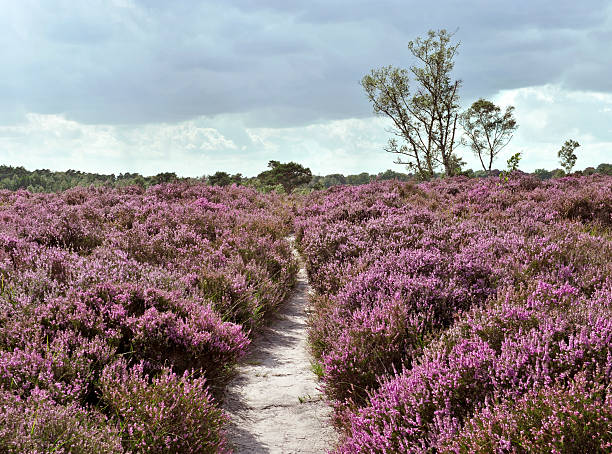 Path through a heather landscape in bloom, Kalmthoutse Heide, Belgium Heath vegetation in purple colors  in the Kalmthoutse Heide,a nature reserve on the Belgian-Dutch border. heather stock pictures, royalty-free photos & images