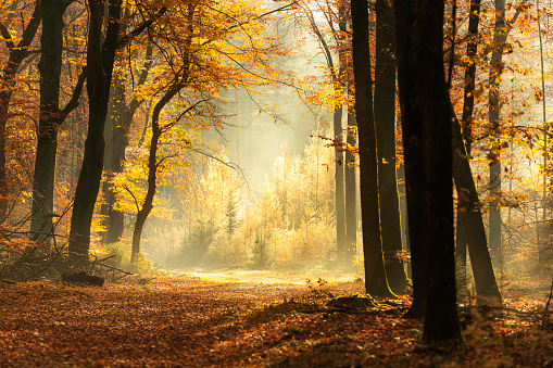 Path through a misty forest during a beautiful foggy autumn day