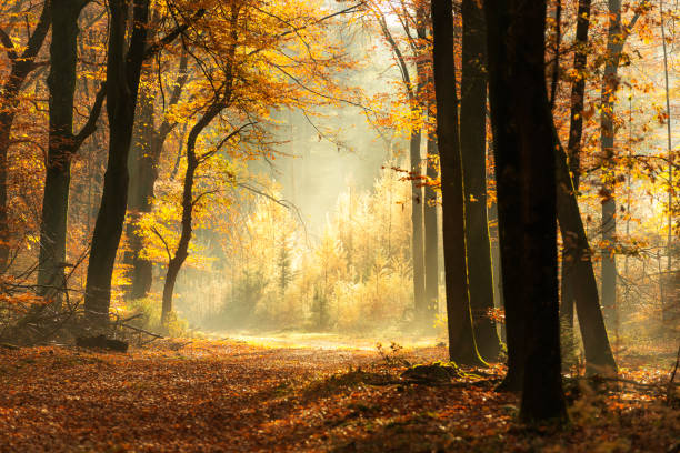 Path through a misty forest during a beautiful foggy autumn day stock photo