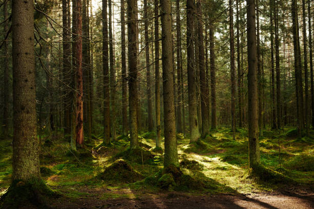 Path through a pine forest stock photo