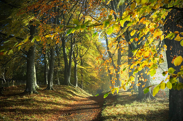 Path through autumn woods Dirt track through colourful autumn woodland with dappled sunlight - Ross-shire, Scotland, UK. beech tree stock pictures, royalty-free photos & images