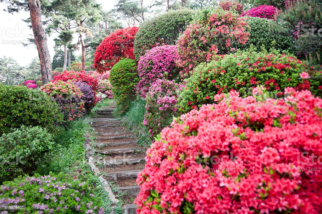 Path Through Azalea Garden bildbanksfoto