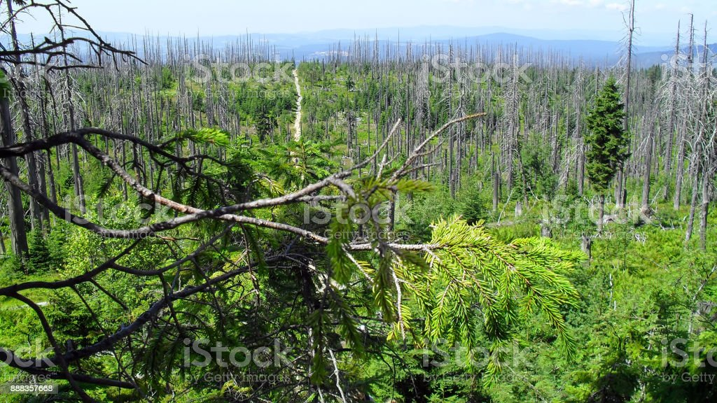 Path through Bavarian forest with thousands of dead trees stock photo